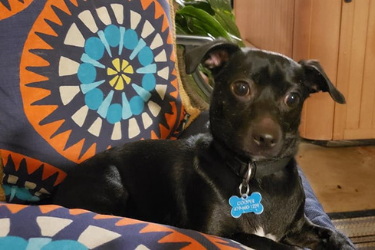 Morty Adult Chiweenie Dog for Adoption