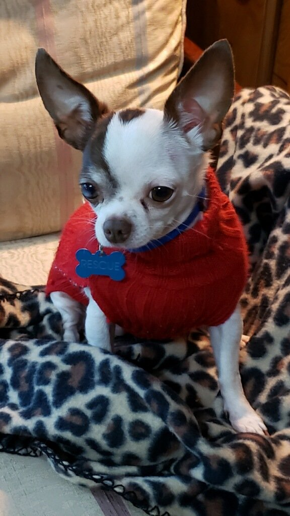 Female Chihuahua available for adoption - adopt a pet - dog rescue